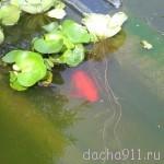 Дача лето 2009 037